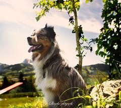 _DSC1969-Modifier (memphys.photo) Tags: dog dogphotography education lightroom photoshop portrait