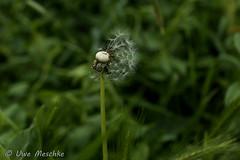 Verblüht (binax25) Tags: blume flower plant pflanze nature summer sommer löwenzahn dandelion
