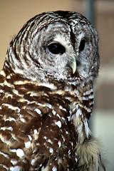 BARN OWL (MIKECNY) Tags: owl feathers who bird riverfest troy whisperingwillowwildlifecare