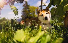_DSC2002-Modifier (memphys.photo) Tags: dog dogphotography education lightroom photoshop portrait