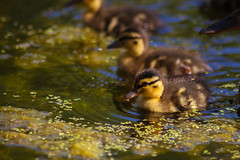Ducklings (sashimicunt) Tags: duck duckling water small yellow pond park leuven heverlee arenbergpark