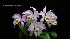 Cattleya gaskelliana var. semi concolor (emmily1955) Tags: orchids cattleya