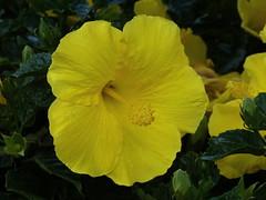 Happy Sunday (npbiffar) Tags: garden outdoor flower hibiscus yellow bright plant npbiffar macro closeup fz200 lumix coth5