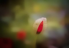 Young poppy ... (Julie Greg) Tags: park poppy poppies canon colours texture soft nature nautre england kent photography 24mm