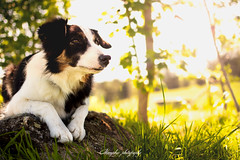 _DSC2342-Modifier (memphys.photo) Tags: dog dogphotography education lightroom photoshop portrait