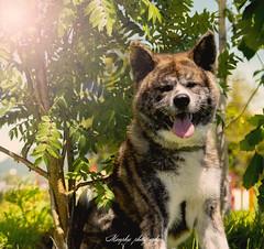 _DSC2080-Modifier (memphys.photo) Tags: dog dogphotography education lightroom photoshop portrait