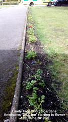 Trinity Free Church gardens - Anemones 'De Caen' starting to flower 16th June 2019 001 (D@viD_2.011) Tags: trinity free church gardens anemones de caen starting flower 16th june 2019