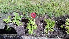 Trinity Free Church gardens - Anemone 'De Caen' starting to flower 16th June 2019 002 (D@viD_2.011) Tags: trinity free church gardens anemones de caen starting flower 16th june 2019