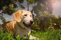 _DSC2064-Modifier (memphys.photo) Tags: dog dogphotography education lightroom photoshop portrait