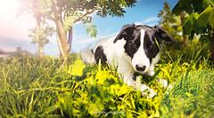 _DSC2057-Modifier (memphys.photo) Tags: dog dogphotography education lightroom photoshop portrait