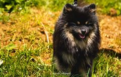 _DSC2039 (memphys.photo) Tags: dog dogphotography education lightroom photoshop portrait