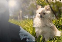 _DSC2033-Modifier (memphys.photo) Tags: dog dogphotography education lightroom photoshop portrait