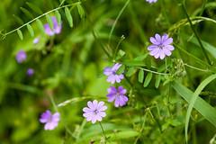 Hedgerow Crane's-bill - Geranium pyrenaicum (Macro light) Tags: worcestershire wildlife trust knapp papermillwild flowersflowerscranesbillhedgerow cranesbillmountain cranesbill