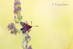 Zygaena trifolii (Ferruxe65) Tags: bolboretas canoneos7d ourense serradaenciñadalastra tamron150600 zygaenatrifolii zigenia nature naturaleza mariposas butterflies ngc macro