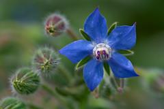 Borage (pstenzel71) Tags: blumen natur pflanzen borretsch borage boragoofficinalis darktable flower bokeh