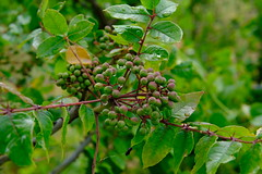 Ornamental Pear (Gene Ellison) Tags: plant tree ornamentalpear red fruit water rain drops nature photography naturephotography garden fujifilm velvia sooc