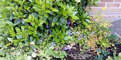 Trinity Free Church gardens - Campanulas flowering 16th June 2019 (D@viD_2.011) Tags: trinity free church gardens campanulas flowering 16th june 2019