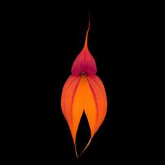 Masdevallia veitchiana (karlsorchidparty) Tags: masdevallia masdevalliaveitchiana orchid orchidaceae orange iridescent glitter d70 1600x1200