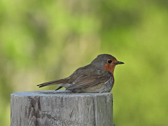 Robin, Holton Lee, May 25 2019, P1 (4) (marilyndewar458) Tags: robin holtonlee