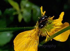 Leafbeetle, Hydrothassa marginella (Geckoo76) Tags: insect beetle leafbeetle hydrothassamarginella