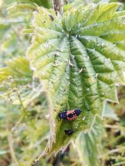 Harlequin Ladybird larvae,  Harmonia axyridis (Geckoo76) Tags: insect beetle harlequinladybird larvae harmoniaaxyridis
