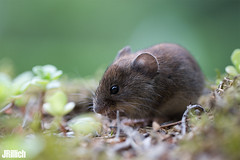 bank vole @ Freyburg 2019 (Jan Rillich) Tags: jan rillich janrillich picture photo photography foto fotografie eos digital wildlife animal nature beautiful beauty sunny sun fauna flora free animalphotography image 2019 5dmarkiii canon bankvole rötelmaus redbrownfur rodent woodland myodesglareolus macro makro canon100mm freyburg maus mouse