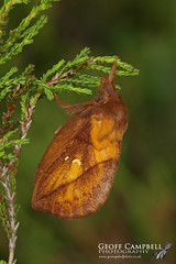 The Drinker (Euthrix potatoria) (gcampbellphoto) Tags: the drinker euthrix potatoria moth insect nature wildlife north antrim northern ireland macro gcampbellphoto