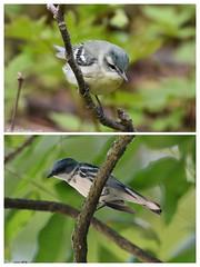 Cerulean warbler COLLAGE (eddissonuk) Tags: cerulean warbler collage