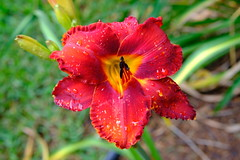 Red Daylily (Gene Ellison) Tags: plant flower daylily red petals water rain drops nature photography naturephotography garden fujifilm velvia sooc