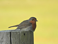Robin, Holton Lee, May 25 2019, P1 (6) (marilyndewar458) Tags: robin holtonlee