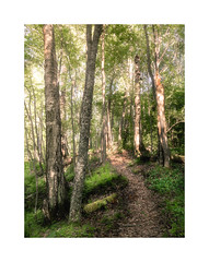 Path | Polku (Olli Tasso) Tags: path polku forest woods metsä green beautiful runeberginlähde metsämaisema maisema scenery landscape summer kesä kesäinen suomi finland ruovesi backlight vastavalo puut trees