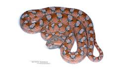 Echis coloratus terraesanctae (Matthieu Berroneau) Tags: macro nature animal wildlife sony fe alpha ff 24x36 sonya7iii sonya7mk3 trip eh israel reptile g palestine serpent viper 90 f28 fond herp oss phe israël reptilia reptilian echis herping sawscaledviper coloratus echiscoloratus sawscaled 7iii palestinesawscaledviper sel90m28g sonyilce7m3 fe90f28macrogoss a7iii objectifsony90mmf28macrofe sonyfesonyfe2890macrogoss sonyalpha7iii sonyalpha7mark3 7mk3 terraesanctae echiscoloratusterraesanctae ehpheeh white blanco high key highkey hybrid blanc fondo textbook fondoblanco fondblanc pink rose
