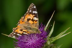 Painted Lady (Dibbly Dobbler) Tags: sonyrx10iii edinburghbotanicgardens vanessa cardui painted lady butterfly