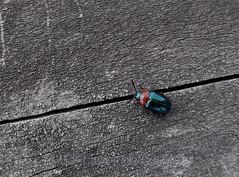 Leaf beetle, Gastrophysa polygoni (Geckoo76) Tags: insect beetle leafbeetle gastrophysapolygoni