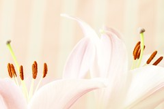 (Abdallah H.) Tags: lily flower pinkflower blooming bokeh closeup beauty