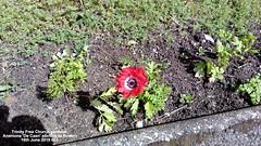 Trinity Free Church gardens - Anemone 'De Caen' just starting to flower 16th June 2019 003 (D@viD_2.011) Tags: trinity free church gardens anemones de caen starting flower 16th june 2019