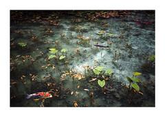 名もなき池 (gol-G) Tags: fujifilm xpro2 fujifilmxpro2 fujinon xf 23mm f14 xf23mmf14r digital color japan 岐阜県 モネの池