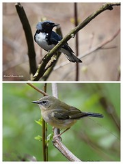 Black throated blue warbler-COLLAGE (eddissonuk) Tags: black throated blue warbler collage