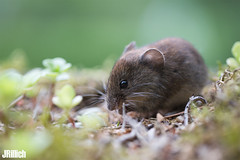 bank vole @ Freyburg 2019 (Jan Rillich) Tags: jan rillich janrillich picture photo photography foto fotografie eos digital wildlife animal nature beautiful beauty sunny sun fauna flora free animalphotography image 2019 5dmarkiii canon bankvole rötelmaus redbrownfur rodent woodland myodesglareolus macro makro canon100mm maus mouse