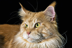Another one of Orion (Tambako the Jaguar) Tags: domesticcat cat mainecoon male red orange ginger tabby fluffy close portrait face looking flash closeup fällanden zürich switzerland nikon d850