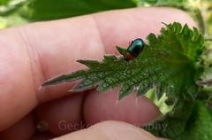 Leaf beetle, Gastrophysa polygoni (2) (Geckoo76) Tags: insect beetle leafbeetle gastrophysapolygoni