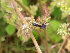 Harlequin Ladybird larvae,  Harmonia axyridis (2) (Geckoo76) Tags: insect beetle harlequinladybird larvae harmoniaaxyridis