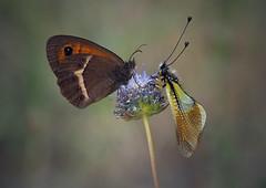 Libe y Loba (Chusmaki) Tags: ngc macro libeloides mariposas madrid olympus zuiko60mm
