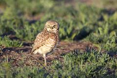 Burrowing Owl (AmyEHunt) Tags: burrowingowl owl raptor birdofprey littleowl nature naturephotography canon wild wildlife bird animal colorado