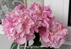 Peony 'Alexander Fleming' on balcony 16th June 2019 002 (D@viD_2.011) Tags: peony alexander fleming balcony 16th june 2019