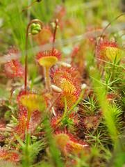 Drosera rotundifolia (Michiel Thomas) Tags: drosera rotundifolia rone rondbladige zonnedauw sundew round