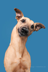 Cute Peewee (Wieselblitz) Tags: dog dogs dogphotographer dogphotography dogportrait doginthestudio portrait elkevogelsang wieselblitz whippet pet pets petportrait petphotography petphotographer commercialphotography commercialdogphotographer commercialdogphotography studio studioportrait studiodogportrait cute cuteness cutedog head headtilt