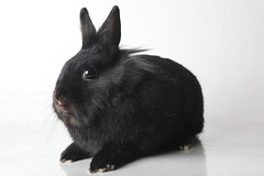 A222122 -- Reglisse -- black Lion Head bun-2 (The.Rohit) Tags: adopt adoption animalshelterphotography ottawa ottawahumanesociety petphotography rescue shelter
