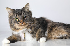 A219552 -- Mao -- domestic LH- (The.Rohit) Tags: adopt adoption animalshelterphotography ottawa ottawahumanesociety petphotography rescue shelter