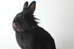 A222122 -- Reglisse -- black Lion Head bun (Ottawa Humane Society) Tags: adopt adoption animalshelterphotography ottawa ottawahumanesociety petphotography rescue shelter